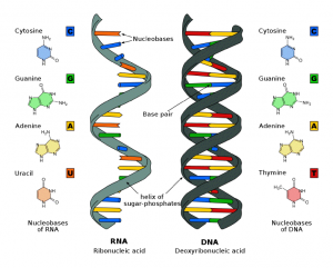 DNA, RNA and their bases